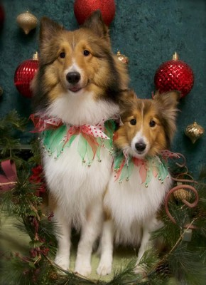 holiday-shelties-xmas