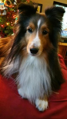 riley-xmas-sheltie