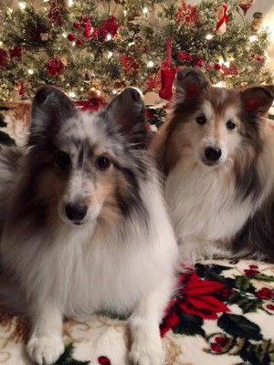 sheltie-christmas-photo