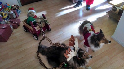 shelties-christmas-sleigh