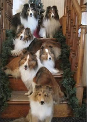 shelties-stairs-holiday