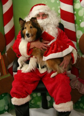 sugar-sheltie-santa