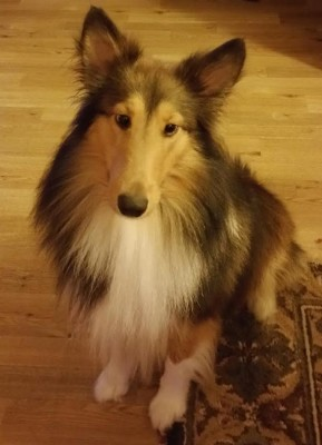 chippy-sheltie