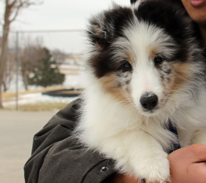 fluffy sheltie by ragzx0fxlace - photo #4