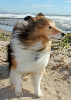 connor-windy-sheltie