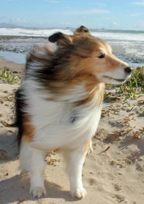 connor-windy-sheltie