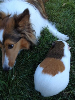 gracie-piggy-sheltie