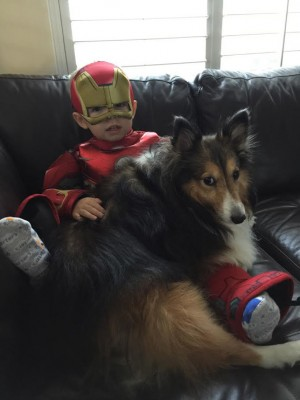 iron-man-sheltie