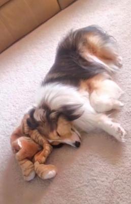 scout-sheltie-sleep