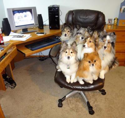 sheltie-chair-sitting