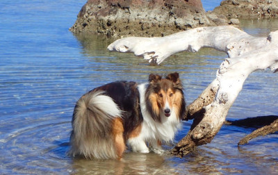 sheltie-sparky-beach