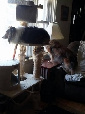 shelties-on-perch