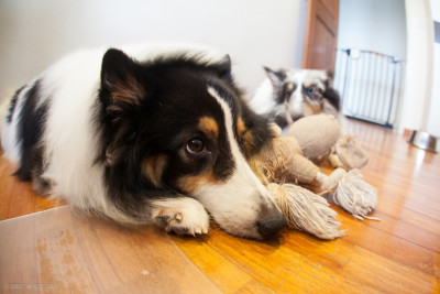 shelties-sulking-toy