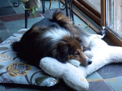stewie-bed-sheltie