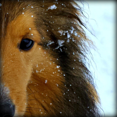 watson-snow-sheltie