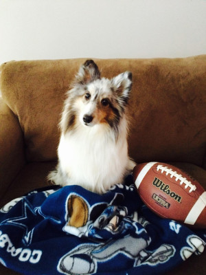 misti-superbowl-sheltie