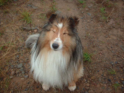 mocha-sheltie-wet