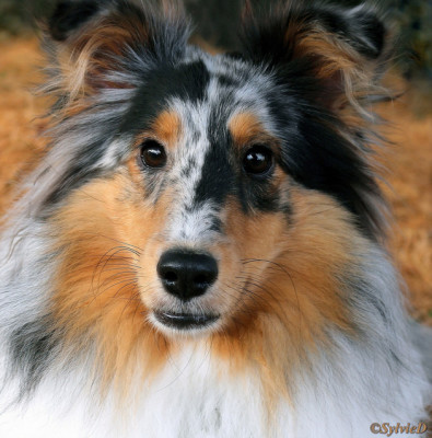 opal-headshot-sheltie
