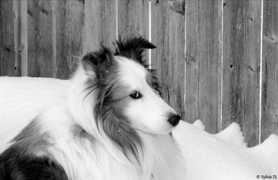 peggy-sheltie-look