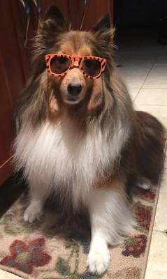 sheltie-kobe-glasses