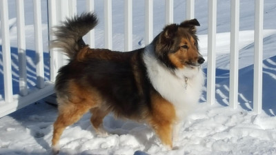 sheltie-miah-snow