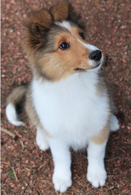sheltie-puppy-hannah