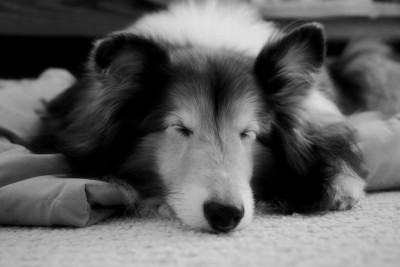sheltie-sleep-black-white