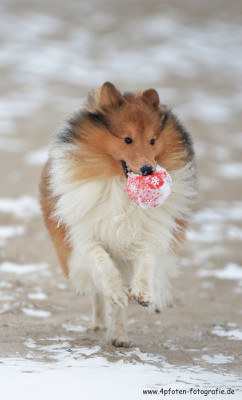sheltie-snow-ball