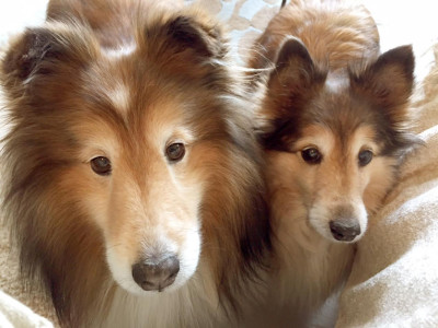 sheltie-stare-down2