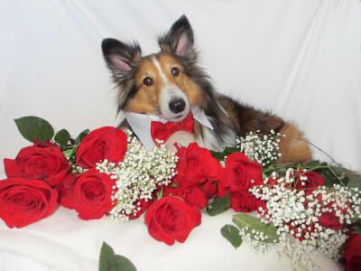 sheltie-valentine-teddy