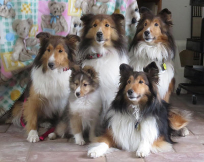 shelties-5-generations