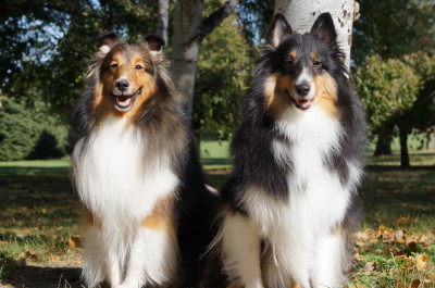 shelties-posing