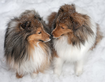 shelties-snow-friends