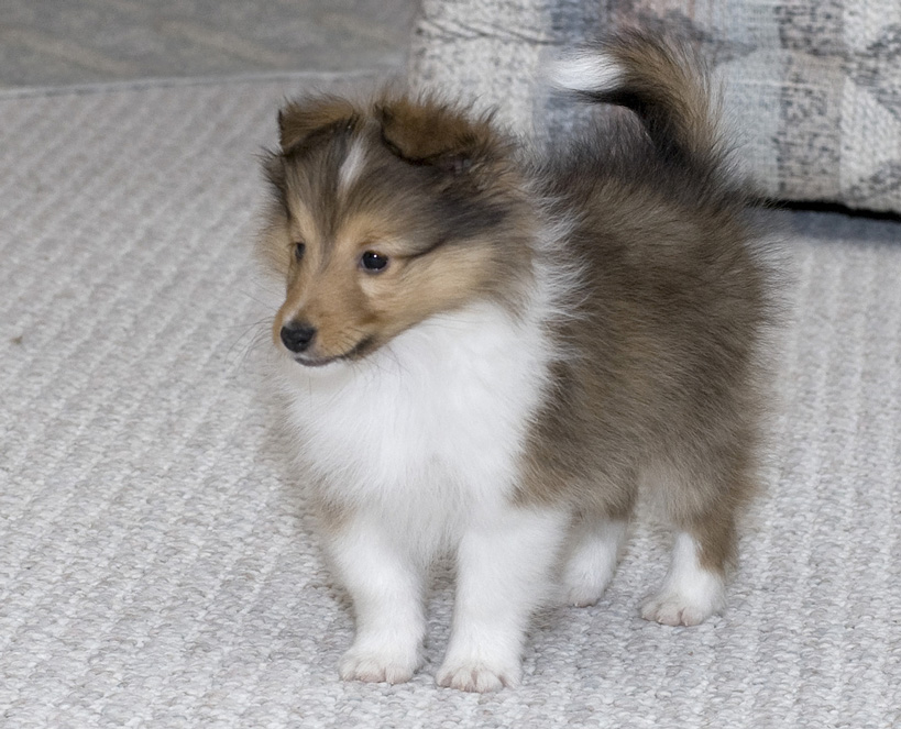 sheltie nation archive puppies. Black Bedroom Furniture Sets. Home Design Ideas