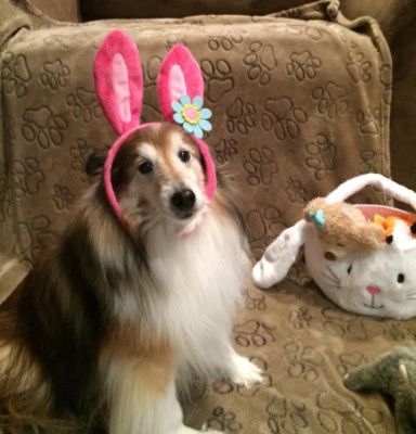 easter-sheltie-bryn