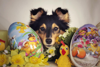 easter-sheltie-sparta