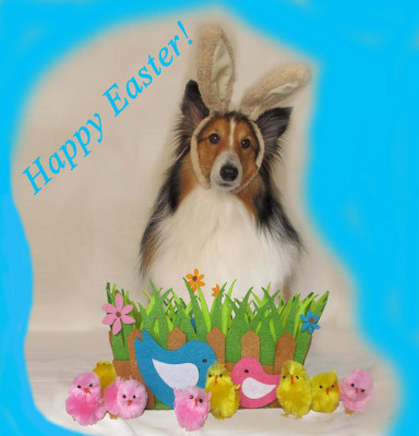 easter-sheltie-teddy