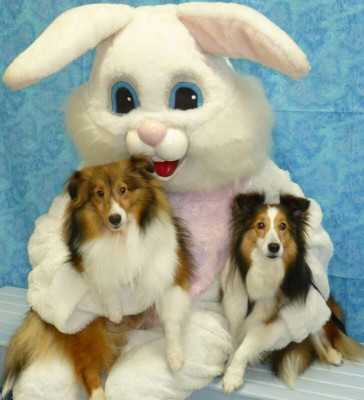 easter-shelties-look
