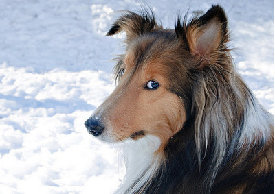 fergus-side-eye-sheltie