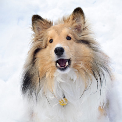 ollie-smile-snow-sheltie