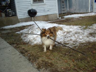 sassie-stick-sheltie