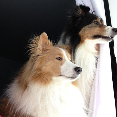 shelby-logan-sheltie-wait