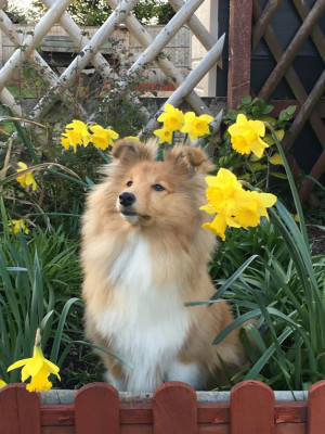 sheltie-flowers-puppy