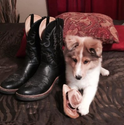 sheltie-puppy-boots
