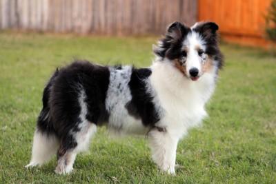 sheltie-puppy-cloud