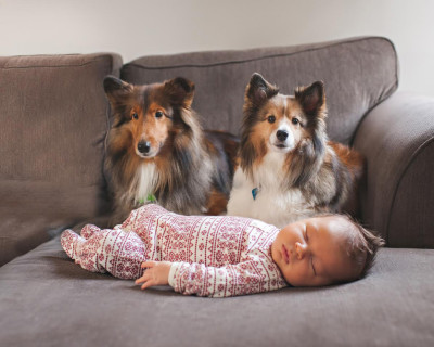 shelties-baby-infant