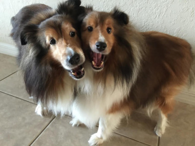 smiling-shelties-chan