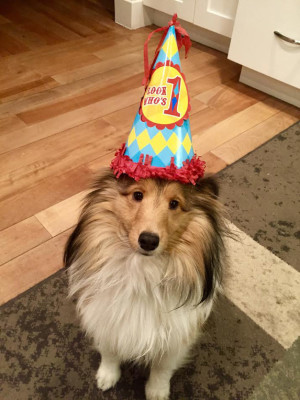 tess-sheltie-one