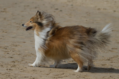 tizzy-sheltie-beach
