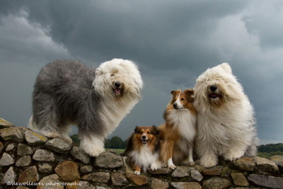 windy-shelties-sheepdogs
